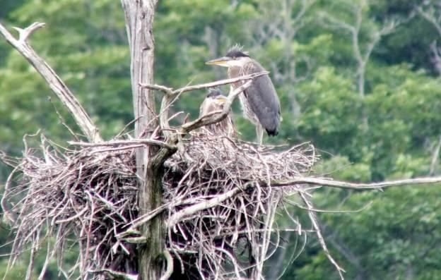Great Blue Herons, Oxtongue lake, Ontario