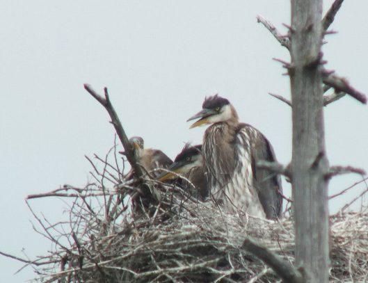 Great Blue Herons and baby , Oxtongue lake, Ontario