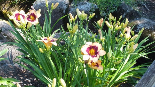 Pale yellow and wine Daylilies - Montreal Botanical Garden - Frame To Frame Bob & Jean