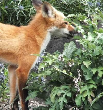 Red Fox enjoys plants at Montreal Botanical Garden