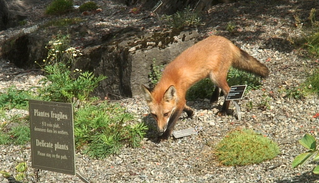 Red Fox sniffs among Delicate plants at Montreal Botanical Garden