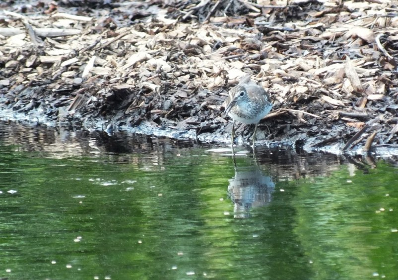 Solitary Sandpiper on edge of a pond searching for prey - Fernwood Farms - stayner - ontario