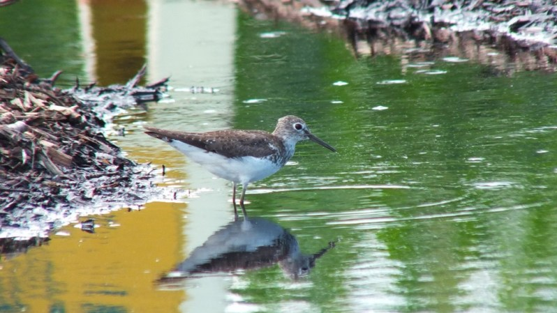 Solitary Sandpiper on edge of pond - Fernwood Farms - stayner - ontario