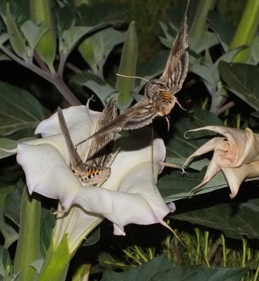 Tomato Hornworm Moths at a Moonflower plant at Grand Canyon National Park