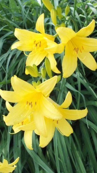 Yellow daylilies - Toronto garden - Frame To Frame Bob & Jean