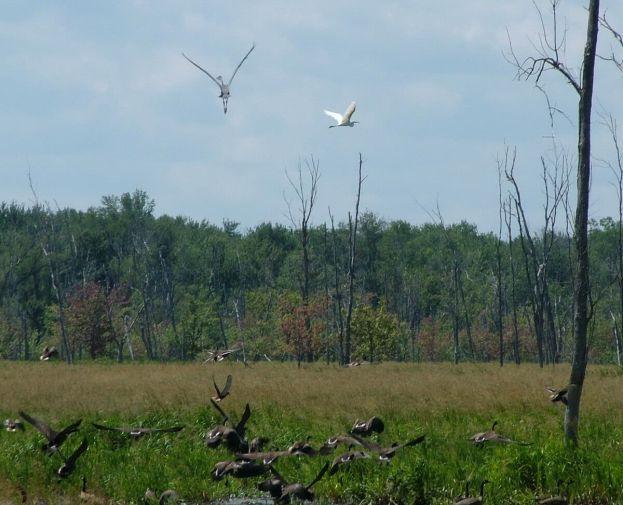 birds take flight above minesing swamp, ontario, frame to frame bob and jean