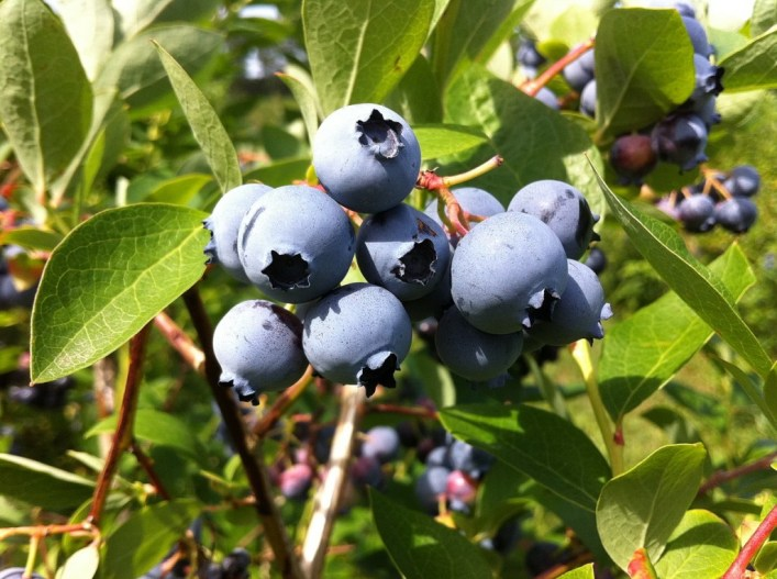 blueberries at Fernwood Farms - stayner - ontario