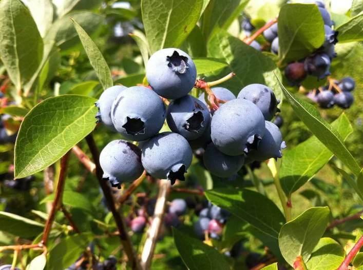 blueberries at Fernwood Farms - stayner - ontario