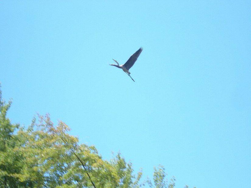 great blue heron, minesing swamp, ontario