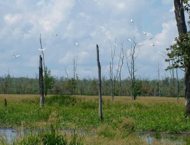 great egrets in flight above the minesing swamp, ontario, frame to frame bob and jean