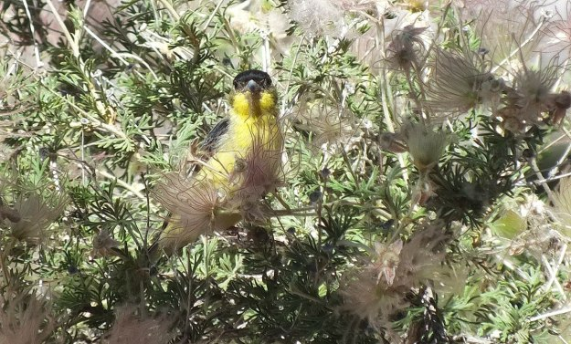 lesser goldfinch, male, checks me out - near Bright Angel Lodge, Grand Canyon, Arizona