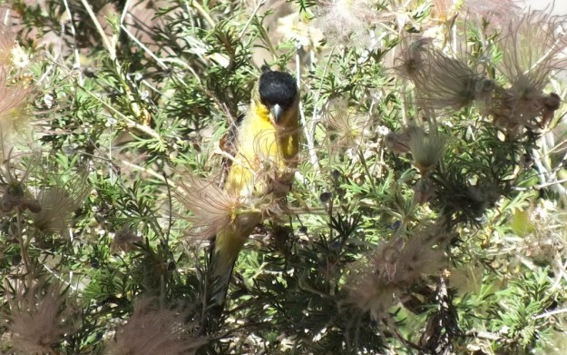 lesser goldfinch, male, pulling at plant matter with peck, near Bright Angel Lodge, Grand Canyon, Arizona