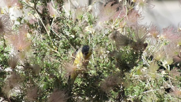lesser goldfinch, male, pulling at plant, near Bright Angel Lodge, Grand Canyon, Arizona