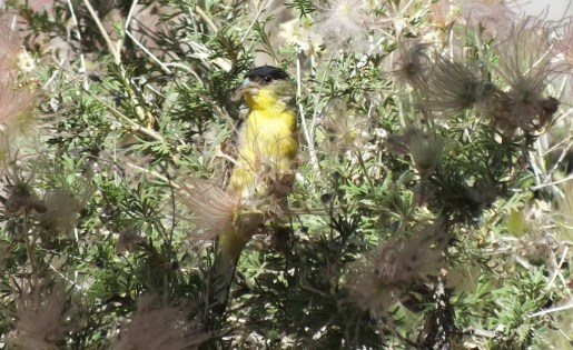 Lesser Goldfinch, male, near Bright Angel Lodge at Grand Canyon National Park in Arizona, USA