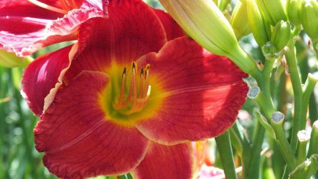 red daylily (stamen) - Montreal Botanical Gardens - Frame To Frame Bob & Jean