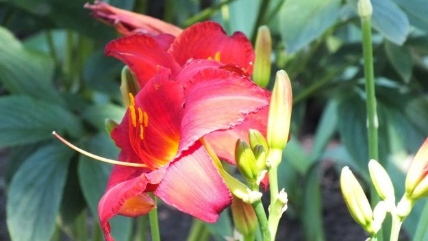 ruby red daylily (profile) - Montreal Botanical Garden - Frame To Frame Bob & Jean