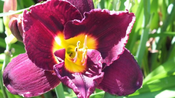 ruffled amethyst daylily - Montreal Botanical Garden - Frame to Frame Bob & Jean