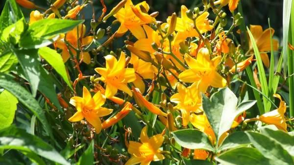 sunny yellow daylilies at Montreal Botanical Garden - Frame To Frame Bob & Jean