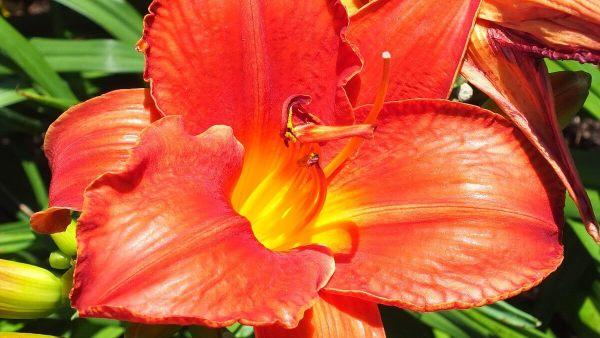 tangerine orange daylily - Montreal Botanical Garden - Frame to Frame Bob & Jean
