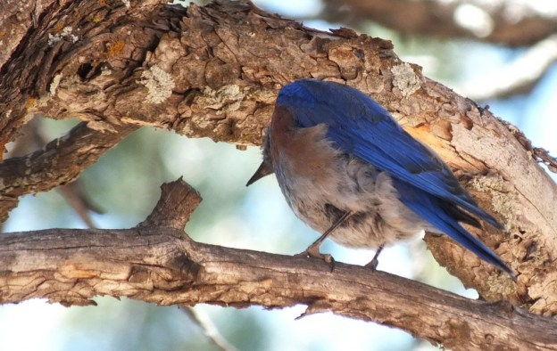 western bluebird looks down from tree, grand canyon national park, arizona, frame to frame bob and jean
