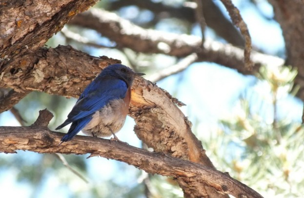 western bluebird sits in tree, grand canyon national park, arizona, frame to frame bob and jean