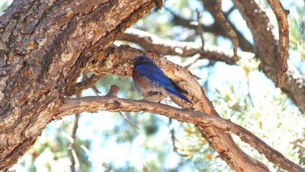 western bluebird sits on limb, grand canyon national park, arizona, frame to frame bob and jean
