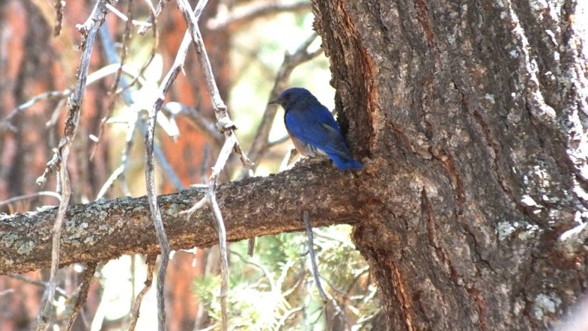 western bluebird, view of back and tail, grand canyon national park, arizona, frame to frame bob and jean