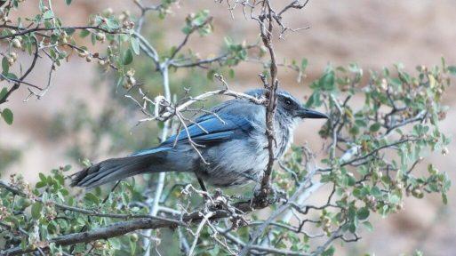 Western Scrub Jay sitting in tree along Bright Angel Trail at Grand Canyon National Park in Arizona, USA