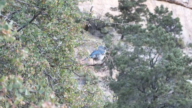 western scrub jay, sits in tree, bright angel trail, grand canyon