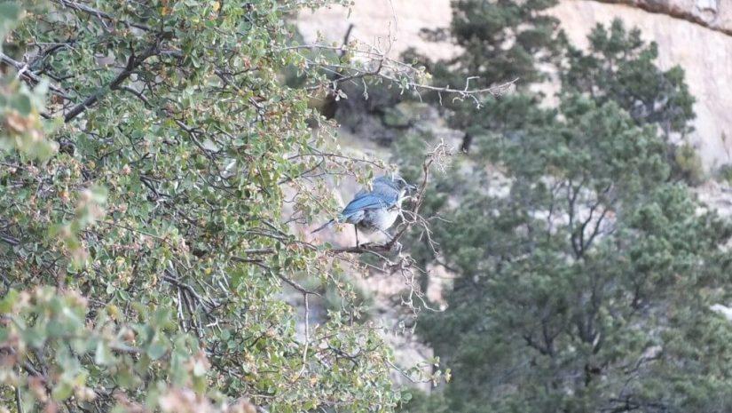 western scrub jay, sits in tree, bright angel trail, grand canyon
