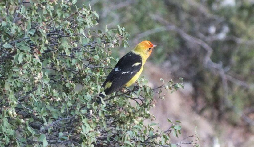 western tanager, north rim, grand canyon, arizona