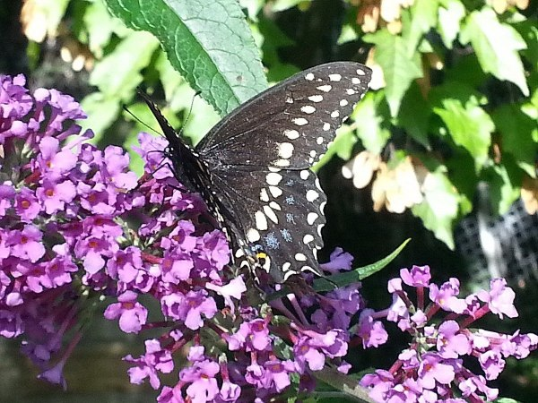 Black Swallowtail butterfly - on flower - Rosetta McClain Gardens - Toronto - Frame to frame bob & jean