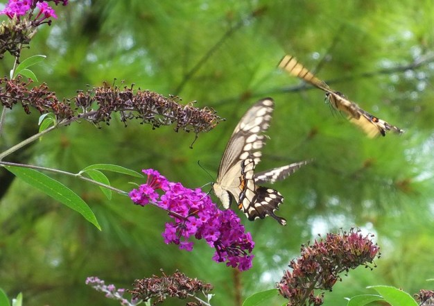 Giant Swallowtail butterflies, at jeans butterfly bush, toronto, ontario