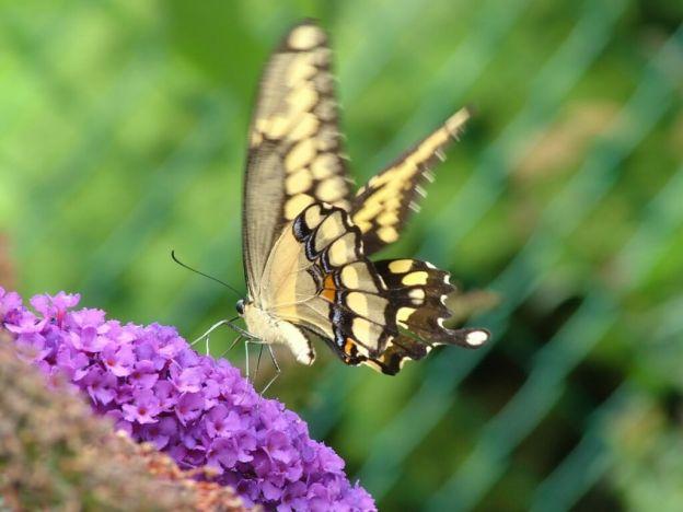 Giant Swallowtail butterfly, jeans garden, toronto, ontario