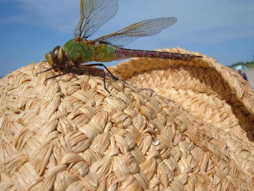 Green Darner Dragonfly - lands on jeans straw hat - the pinery provincial park  - Ontario