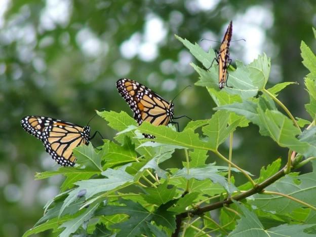 Monarch butterflies, Milliken Park - Toronto - Ontario
