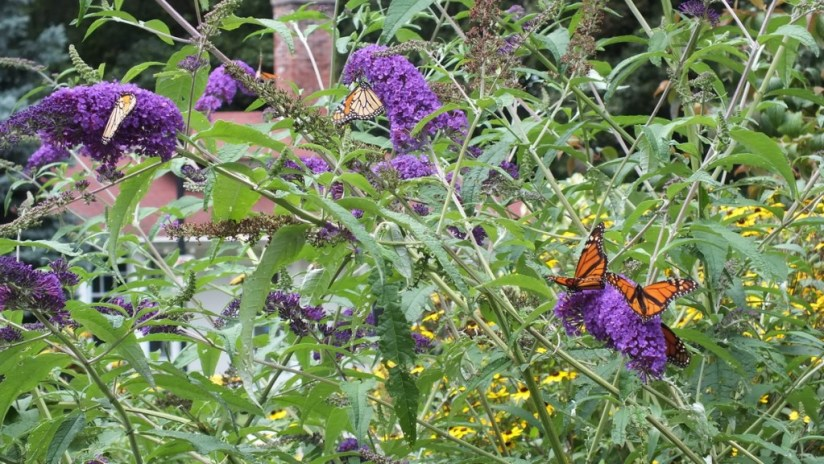 Monarch butterflies, U Of T Scarborough - Toronto - Ontario