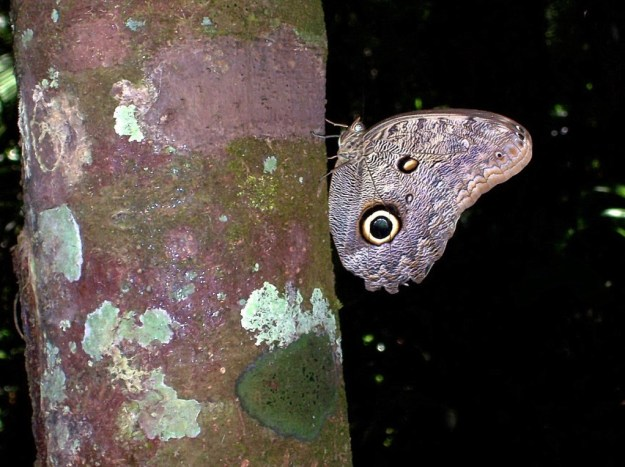 Owl butterfly on side of tree, Sandoval lake, amazon jungle, peru, frame to frame bob and jean