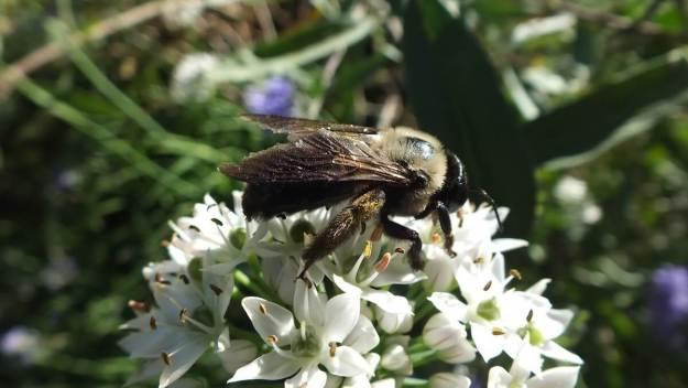 bees atop a white flower - Rosetta McClain Gardens - Toronto