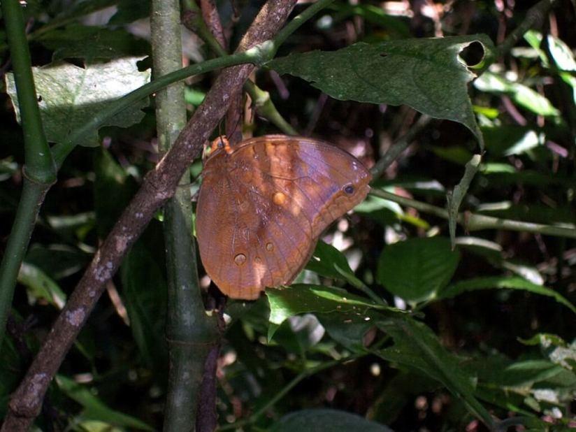 brown colored butterfly, sandoval lake, amazon jungle, peru, frame to frame bob & jean