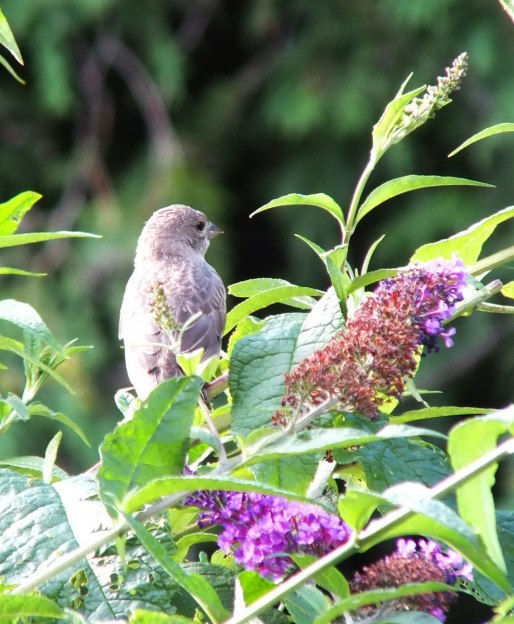 brown headed cowbird - juvenile - female on bush - toronto