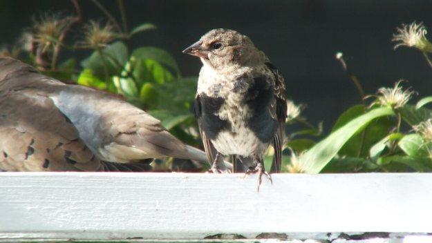 brown headed cowbird - juvenile - sits on arbour - toronto