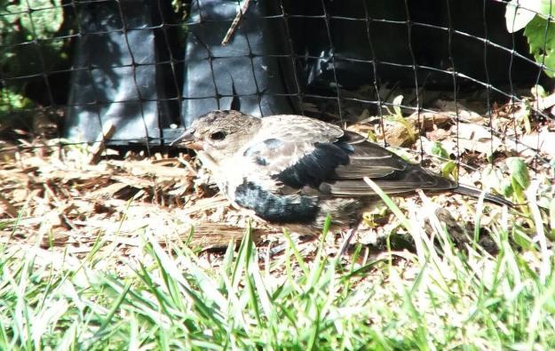 brown headed cowbirds - feeding on ground - toronto - ontario