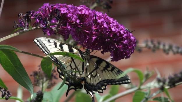 canadian tiger swallowtail butterfly - jeans garden - toronto