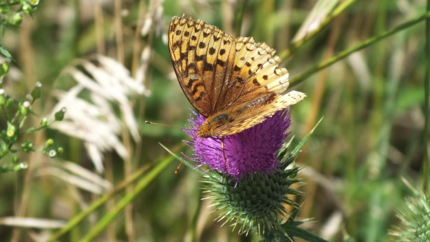great spangled fritillary butterfly - near little britian - ontario