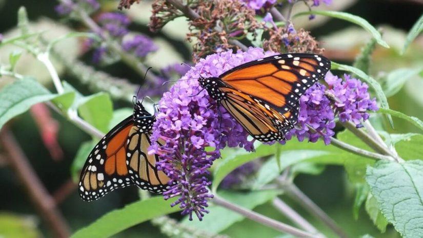 monarch butterflies on butterfly bush, jeans garden, toronto, ontario