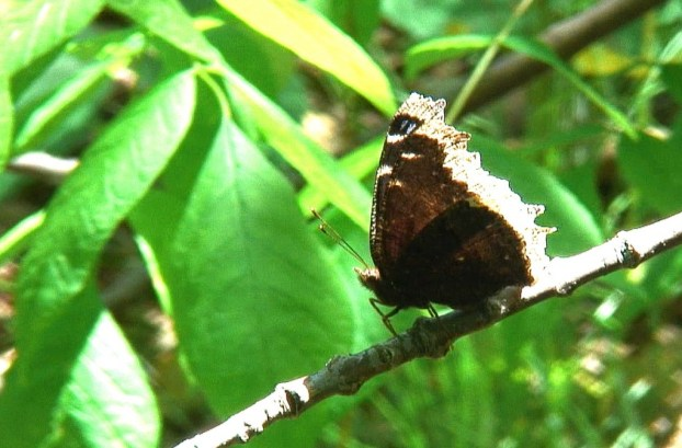 mourning cloak butterfly sits on branch, forks of the credit provincial park, ontario