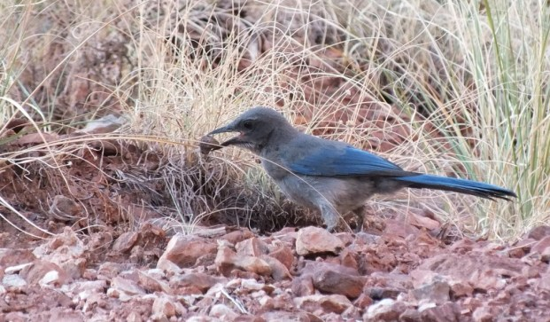 western scrub jay holds a stone in beak, bright angel trail, grand canyon