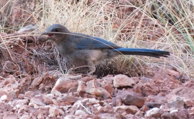 western scrub jay holds stone in beak, bright angel trail, grand canyon