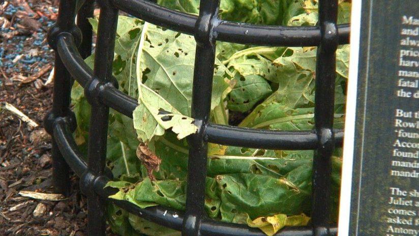 European Mandrake growing in the Poison Garden at Blarney Castle in County Cork, Ireland